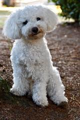 Pour la journée mondiale du chien, Naïs prend la pose ;-) (Annelise LE BIAN) Tags: chien naïs animaux coth coth5 alittlebeauty damn sunshine explore bichonfrisé