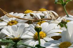 Margeriten (KL57Foto) Tags: 2018 juli july kl57foto omdem1 olympus schweden sommer summer sverige sweden margeriten blumen sgtack stacking focus schären schäreninsel schärengarten flower