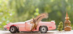 young red squirrel in a pink car (Geert Weggen) Tags: humor car driving photography stationwagon animal loveemotion rodent backgrounds camping cheerful closeup colorimage cute environment horizontal landvehicle mammal nature nopeople oldfashioned outdoors puppy red retrostyle softness squirrel summer sweden transportation vanvehicle younganimal pink church young bispgården jämtland geert weggen ragunda hardeko