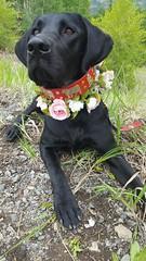 Maybel (Alpen Schatz - Mary Dawn DeBriae) Tags: happy customer alpenschatz bernesemountaindog dog swissdogcolar hunterswisscrosscollar doggles stein