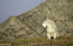 Mountain Goat (Jims Wildlife) Tags: mountevans mountaingoat usa oreamnosamericanus
