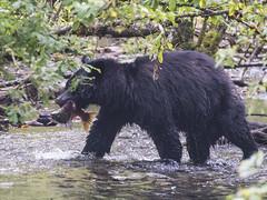 Sockeye Help Bear 832 (Gillfoto) Tags: bear bearcountry blackbear alaska juneau mendenhall mendenhallglacier steepcreek salmon sockeye eaten feed food fishing fish tongass usfs tongassnationalforest