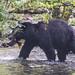 Sockeye Help Bear 832
