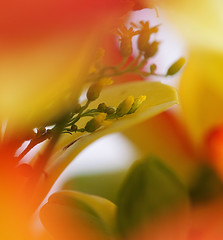 Hide and Seek (Smiffy'37) Tags: flowers red yellow nature macro olympuscamera abstract 7dwf flora
