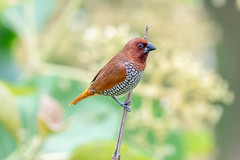 Spice Finch4 (Subash BGK) Tags: scalybreastedmunia spicyfinch spottedmunia nutmegmannikin estrildidfinch finch bird