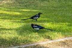 Urban Nature (Ava Babili) Tags: athens greece bird urbannature magpie