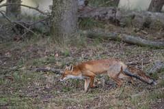 R18_2222 (ronald groenendijk) Tags: cronaldgroenendijk 2018 diereninhetwild rgflickrrg animal copyrightronaldgroenendijk fox nature natuur natuurfotografie netherlands outdoor ronaldgroenendijk vos vulpis wildlife