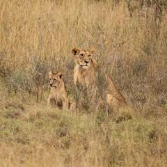She and her cub (Nagarjun) Tags: lioness nairobinationalpark kenya eastafrica wildlife carnivore bigcat bigfive female safari gamedrive
