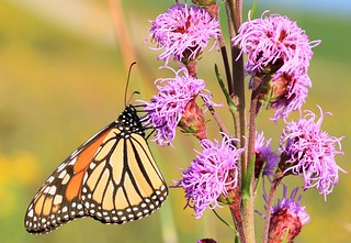 monarch female nectaring on meadow blazing star near Lime Springs IA 653A6572