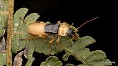Soldier Beetle, Chauliognathus domitus? Cantharidae (Ecuador Megadiverso) Tags: andreaskay beetle birdwatcherslodge cantharidae coleoptera ecuador mindo soldierbeetle
