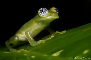 Limon giant glass frog (Sachatamia ilex)