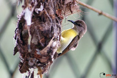 Purple-rumped sunbird (Jidhu Jose Photography) Tags: sunbird bird