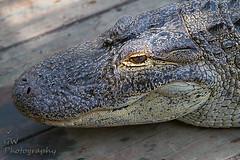 Wild Florida Gator 001 (H2OJunkie) Tags: alligator wildflorida cypresslake florida reptile gwphotography canon canon7d canon70200mmf28eflusm