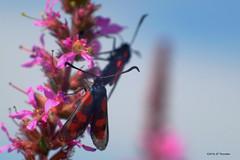 Repas à deux (jpto_55) Tags: papillon proxi bokeh xe1 fuji fujifilm omlens om85mmf2 hautegaronne france