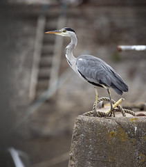 Heron (andywilson1963) Tags: heron bird wildlife nature scotland british harbour