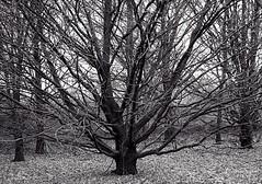Nature's symmetry (marionvankempen) Tags: winter tree trees blackandwhite throughherlens