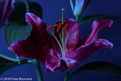 "Flower art, ""Oriental Lilium"" (Fred / Canon 70D) Tags: canon canon70d canoneos ef100mmf28lmacroisusm falconeyesskk2150d falconeyes elinchromblueumbrella elinchrom orientallilium closeup art eefde lillium lelie"