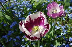 JLF14598 (jlfaurie) Tags: maintenon château castillo palace 22042018 jardin garden tulipes tulipanes tulips mechas gladys amigos friends michel magda sergio primavera printemps pentaxk5ii mpmdf jlfr jlfaurie spring flowers flores fleurs agua eau water canal intérieurs interiores inside