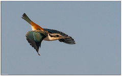 Red-backed Kingfisher Todiramphus pyrrhopygius (Mykel46) Tags: bif birds nature wildlife fast sony a7r3 a7rmk3 100400mm kingfisher speedy red backed outside outdoors sky