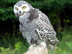 Baby Snowy IMG_3035 (Jennz World) Tags: snowyowl owl ©jennifermlivick canadianraptorconservancy vittoria ontario canada