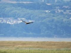 Marsh Harrier (_jons_) Tags: birding birdingphotography birds birdwatching birdphotography wildlife wildlifephotography nature naturephotography rspbparkgate