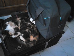 Back Home  8/8/18 Pixie making sure I don't go away again! (d.kevan) Tags: animals cats pixie bags suitcases myflat madrid spain floors tiles prosperidad