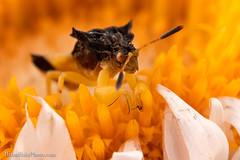 Phymatinae Awaits (Brian M Hale) Tags: phymatinae phymata ambush bug insect extreme macro closeup close up flower floral guacfuser tower hill botanic botanical garden boylston ma mass massachusetts new england newengland usa brian hale brianhalephoto