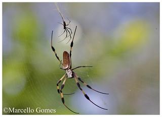 Golden orb-weaver aka Banana Spider (Nephila) - Touching Basis (best seen large)