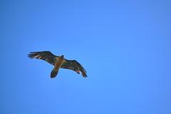 gypaète barbu (ptxjp) Tags: nature oiseaux oiseau ciel exterieur extérieur sauvage rapace pyrénées nikon captureone