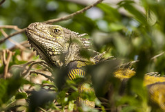 the Dragon in the Tree (Arranion) Tags: iguana animal animals reptile leaves tree scale eye focus canon 5dmk2 70200mm butterflyworld southafrica capetown dragon