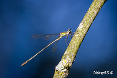 Agrion vert (Lestes viridis) (Dicksy93) Tags: img687 agrion vert lestesviridis libellule swamp dragonfly libel libelle insecte volant volateur insect bug insekt insecto insetto animal nature faune aile oeil branche tiere wildlife billebaude extérieur outdoor hillion côtes darmor 22 breizh bzh bretagne brittany france europe dicksy93 catherine olivier macro canon eos 7d ef100400mm f4556l is usm