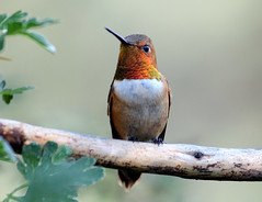 Rufous Hummingbird -- Male (Selasphorous rufus); Santa Fe National Forest, NM, Thompson Ridge [Lou Feltz] (deserttoad) Tags: wildlife nature newmexico behavior flight desert bird wildbird hummingbird mountain nationalforest