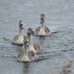 Swan Lake-Cygnets  DSCN0830 thumbnail
