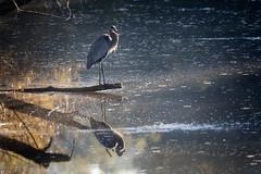 Great Blue Heron (jwfuqua-photography) Tags: peacevalleynaturecenter jwfuquaphotography jerrywfuqua pennsylvania buckscountyparks buckscounty nature