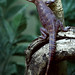 Variegated Lizard