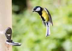 Great Tit (michaelphillips3) Tags: birds forestfarm wildlife