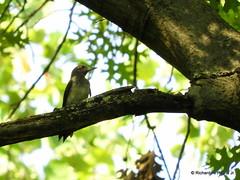 Immature Red-headed Woodpecker_N7565-001 (Henryr10) Tags: eastforklake eastforkstatepark bethelohio littlemiamiriverbasin usa southbeach melanerpeserythrocephalus melanerpes redheadedwoodpecker woodpecker avian bird vogel ibon oiseau pasare fågel uccello tékklistar rhwo