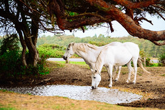 White Horses (rorycrocker) Tags: horses wild new forest bournemouth nikon d5200 35mm 18g