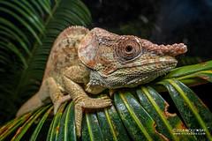 Short-horned chameleon (Calumma brevicorne) - DSC_3049 (nickybay) Tags: africa madagascar macro andasibe calumma brevicorne chameleon chamaeleonidae shorthorned laowa 15mm
