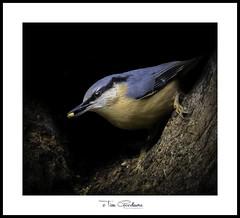 Mr Nutty (timgoodacre) Tags: bird birds birdportrait birdlife wildbird wildlife wildanimal wild outside wildfowl nature ngc nuthatch