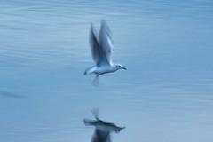 Taking Flight (craig.denford) Tags: richmond park pen ponds gull craig denford