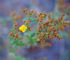 Slender St. John's-wort (Out-of-Doors Photos in Coldstream B.C.) Tags: little yellow flower buds slenderstjohnswort