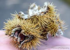 Shedding Seeds (stedanphotography) Tags: seeds macro nikon d3300