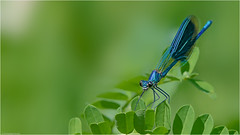 Calopteryx virgo (Bluevisionart) Tags: calopteryx virgo nikon d850 schweiz aargau nature animal natur tiere switzerland 200500mm