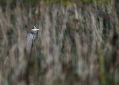 DSC_4698_edit (Hanzy2012) Tags: toronto ontario canada wildlife bird d500 afsnikkor500mmf4difedii greatblueheron ardeaherodias