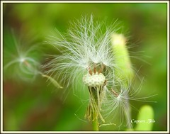 Dandelion head (todd5524) Tags: dandelion flowers wild nature amazing windy soft elegant photography photoshop nikon coolpix