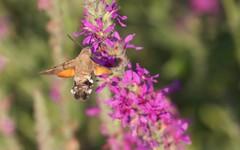 Moro sphinx ou papillon colibri - IMG_6136 (6franc6) Tags: papillon occitanie languedoc gard 30 milhaud juillet 2018 6franc6 vélo kalkoff vae