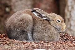 Hare (Hugo von Schreck) Tags: hugovonschreck hare hase fantasticnature canoneos5dsr thalkirchen münchen bayern tamronsp150600mmf563divcusda011