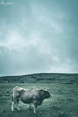 Lagos de Covadonga XVI (Álvaro Hurtado) Tags: nikon d7200 sigma naturaleza nature paisaje landscape asturias españa spain oviedo monte mount montaña mountain lagos lakes covadonga picos europa ercina niebla fog mist vaca cow agua water nubes clouds