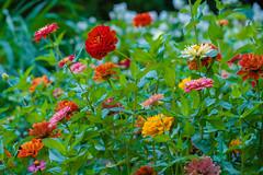 DSCF4568.jpg (RHMImages) Tags: garden xt2 summer flowers crystalhermitage fuji nevadacounty nevadacity fujifilm anandavillage